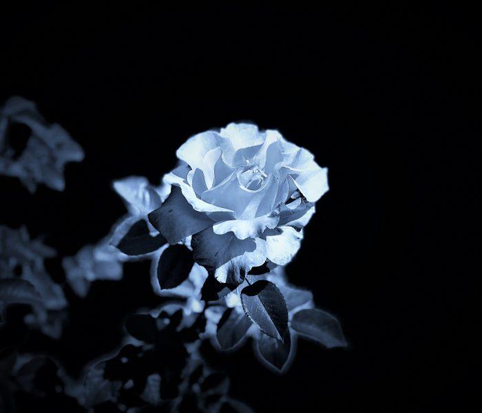 Dark Rose 2 by Lahle Wolfe