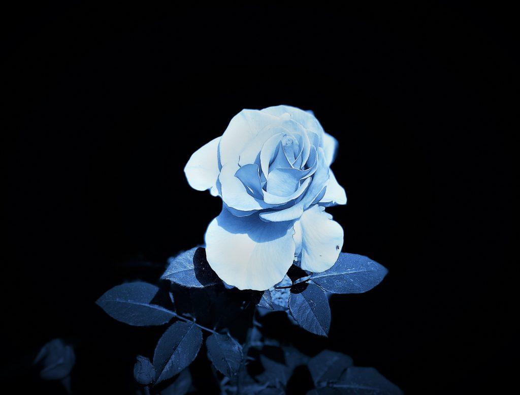 Dark Rose 3