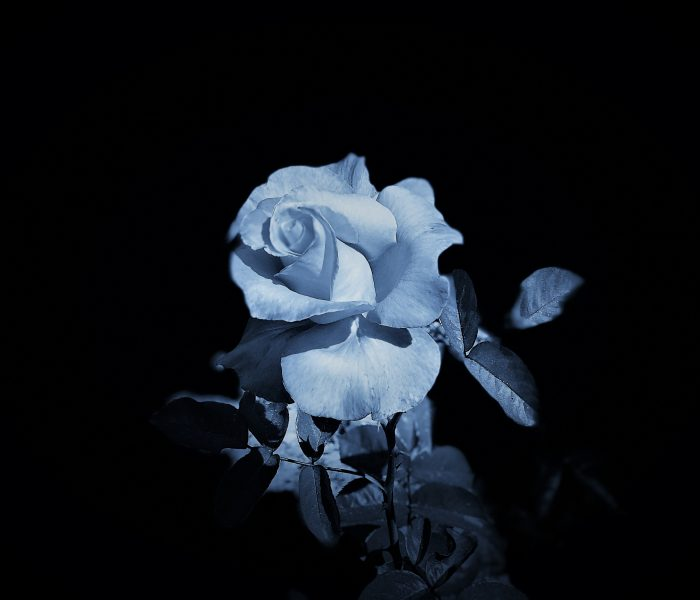 Portrait of a Rose. Lahle Wolfe, Los Angeles photograph