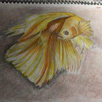 Gold beta fish 1